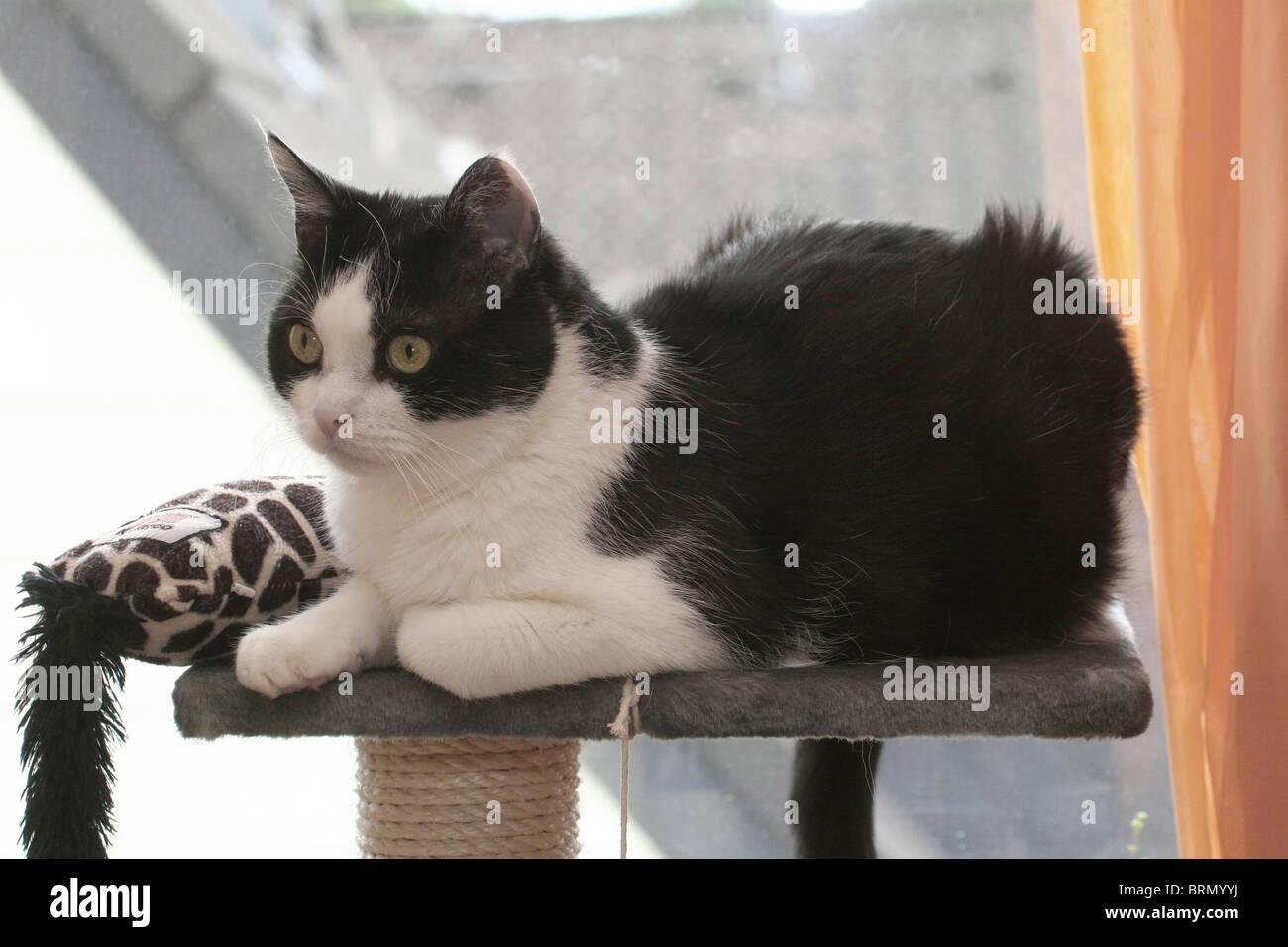 Chat domestique (Felis silvestris, Felis catus). Tomcat 11 ans allongé sur un poteau de éraflure. Photo Stock