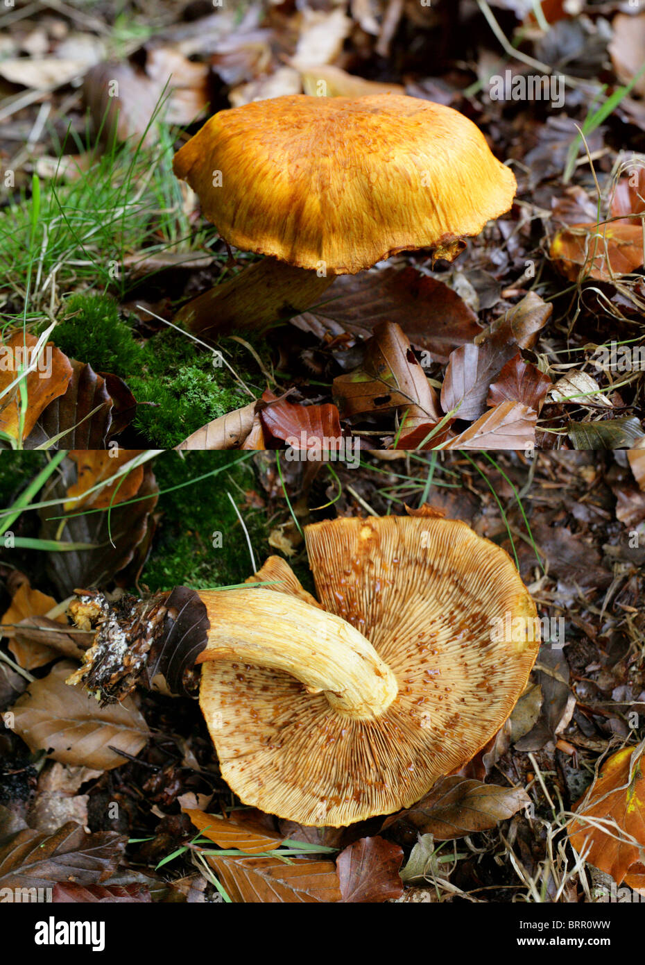 Rustgill spectaculaire, sous-junonius (Pholiota spectablis var. junonia), Cortinariaceae. Composé de 2 images. Photo Stock
