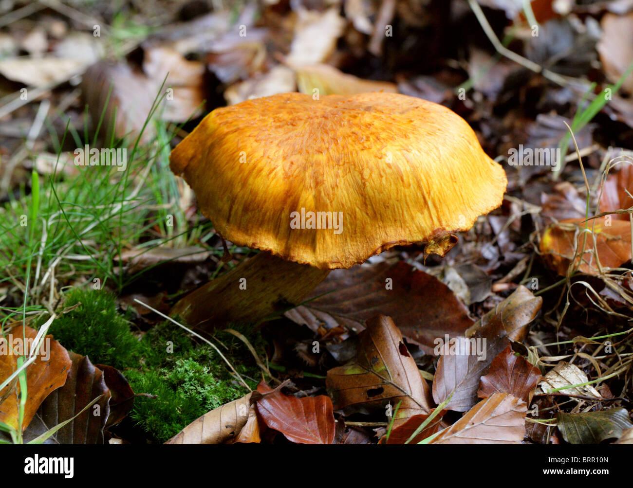 Rustgill spectaculaire, sous-junonius (Pholiota spectablis var. junonia), Cortinariaceae. Photo Stock