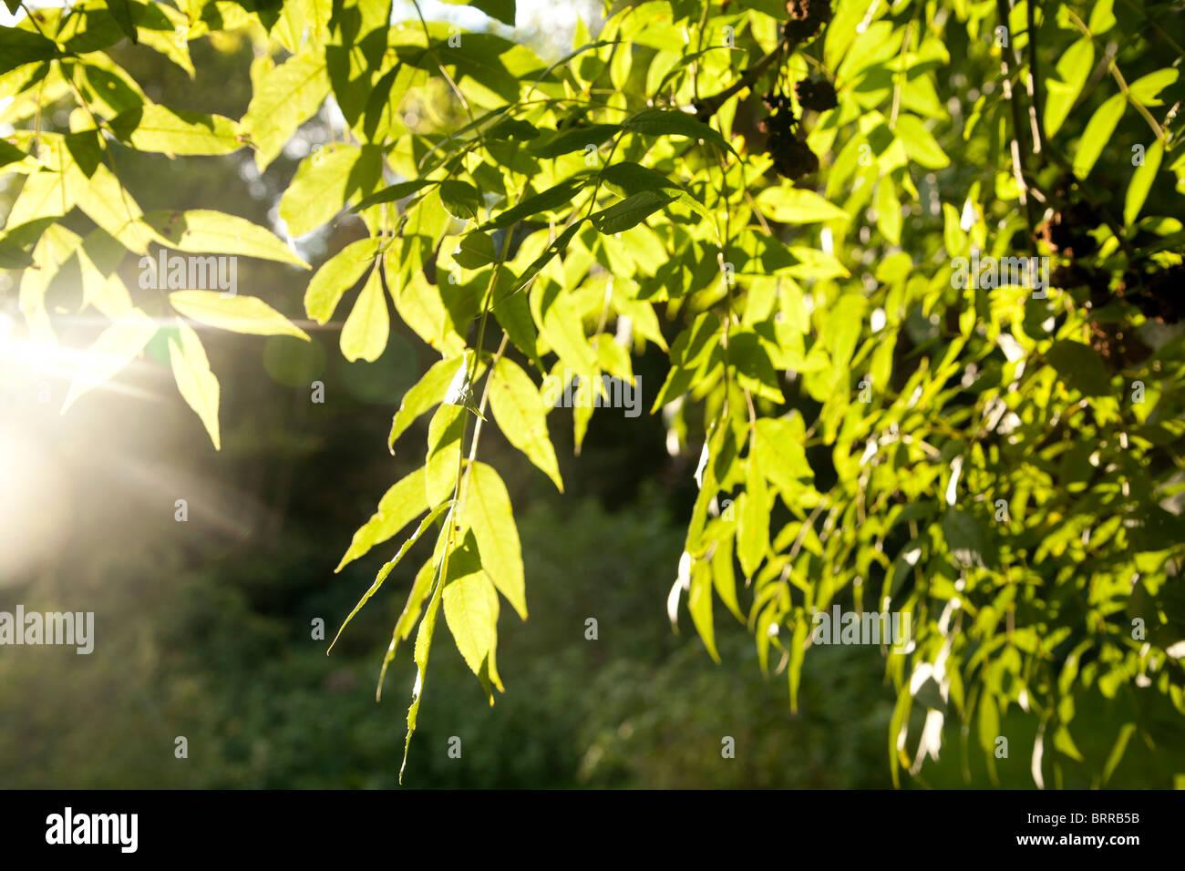 Soleil de la photosynthèse des feuilles de frêne Photo Stock