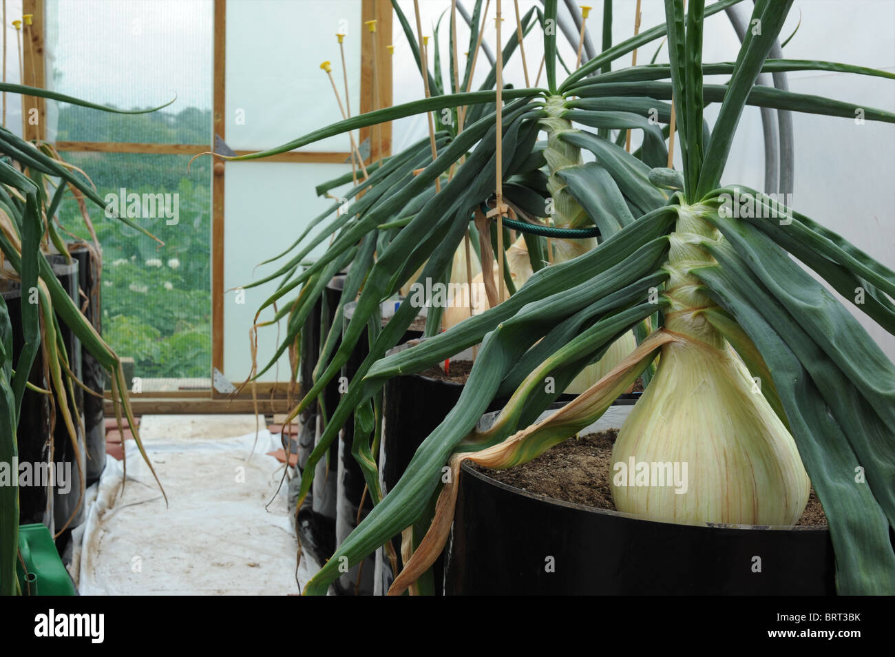 Comment Cultiver Les Oignons ailsae onion photos & ailsae onion images - alamy