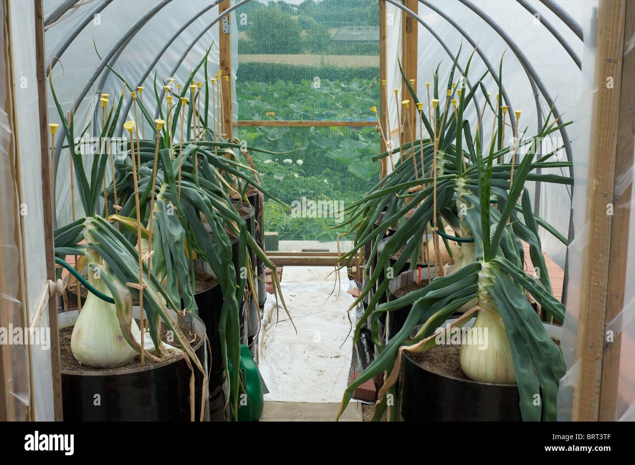 Comment Cultiver Les Oignons oignons dans de grands pots de plantes photos & oignons dans