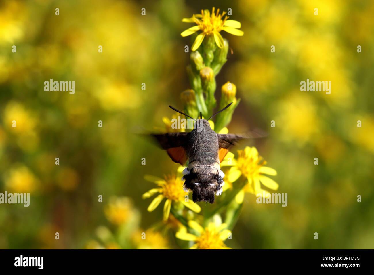 Espèce d'Oiseau de ronflement Photo Stock