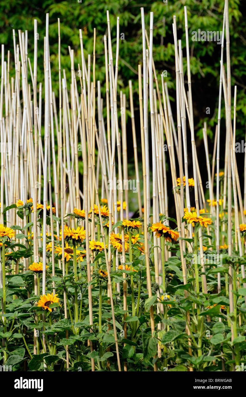 Helianthus annuus Tournesol soutien appuyé de labyrinthe de bambou train en fleurs fleurs composées Asteridae Photo Stock