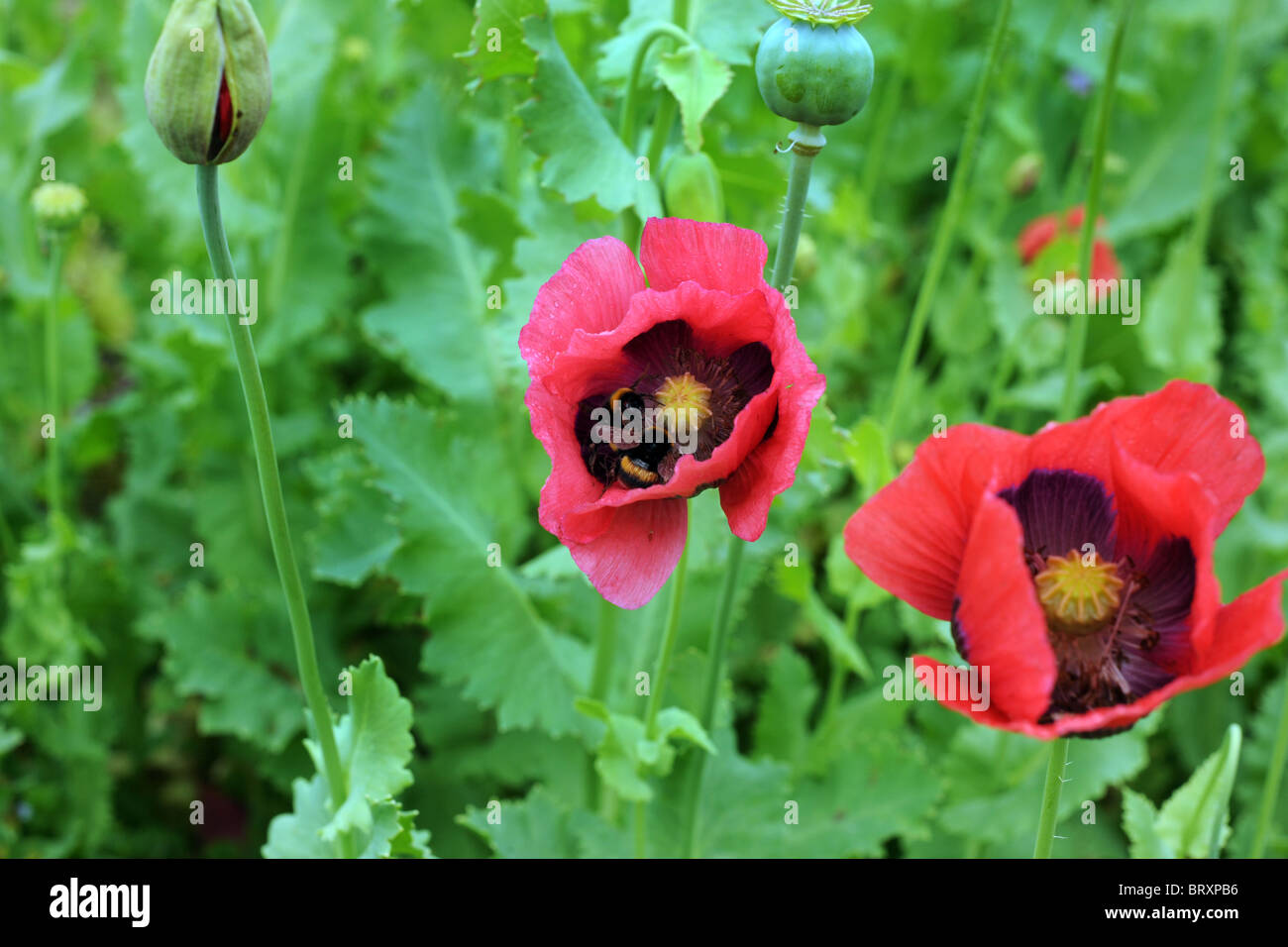 Deux coquelicots rose vif s'ouvrent à l'opposé avec la toile de fond des feuilles vertes. Banque D'Images