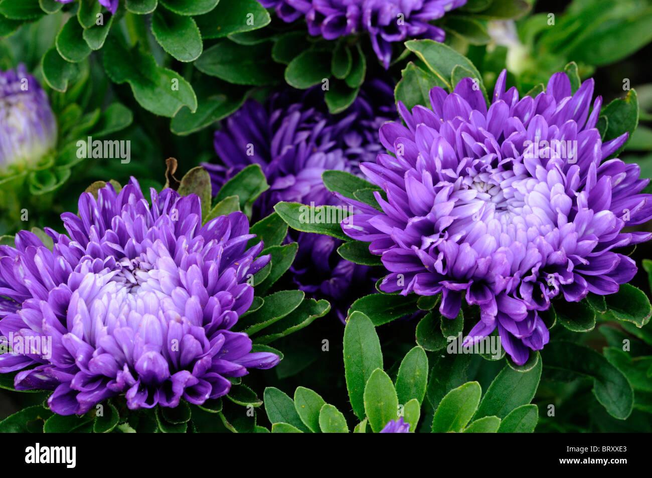 Callistephus Chinensis Milady Nain Aster Aster Nain Grandes Fleurs