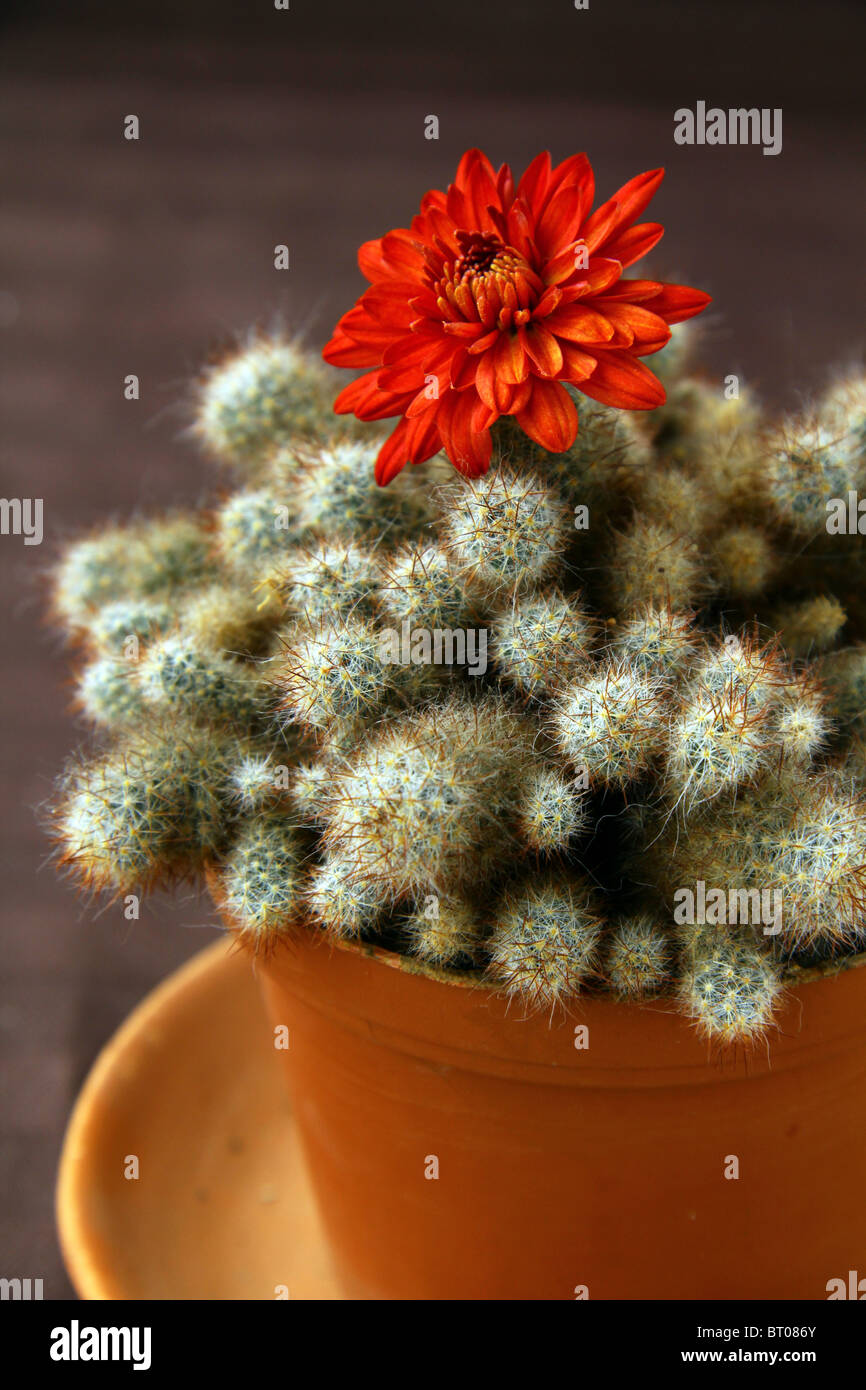 Cactus Fleur Rouge Sur Un Fond Brun Banque D Images Photo Stock