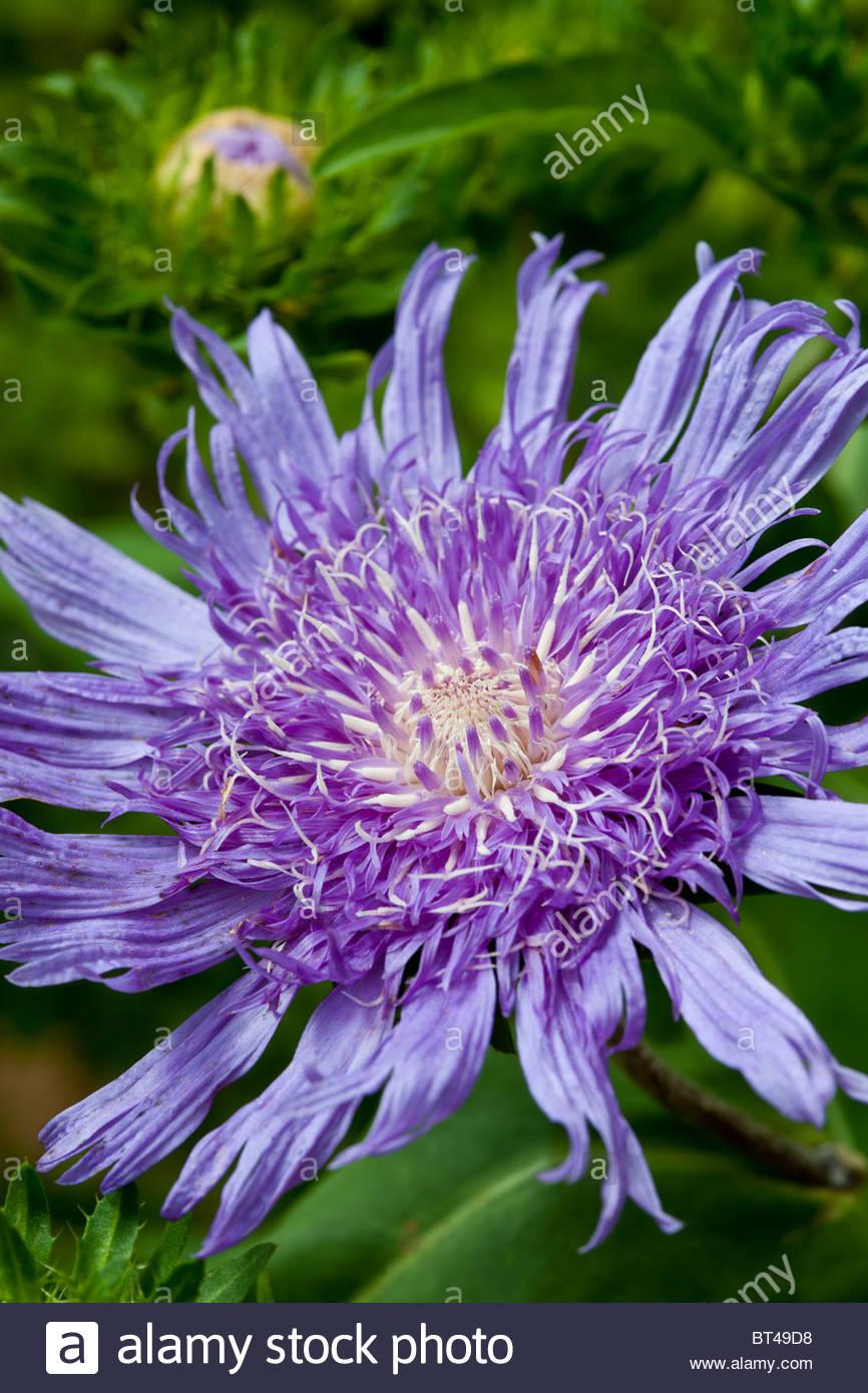 Stokes Aster Stokesia Laevis Purple Parasols Fleur D Ete Aout Vivace
