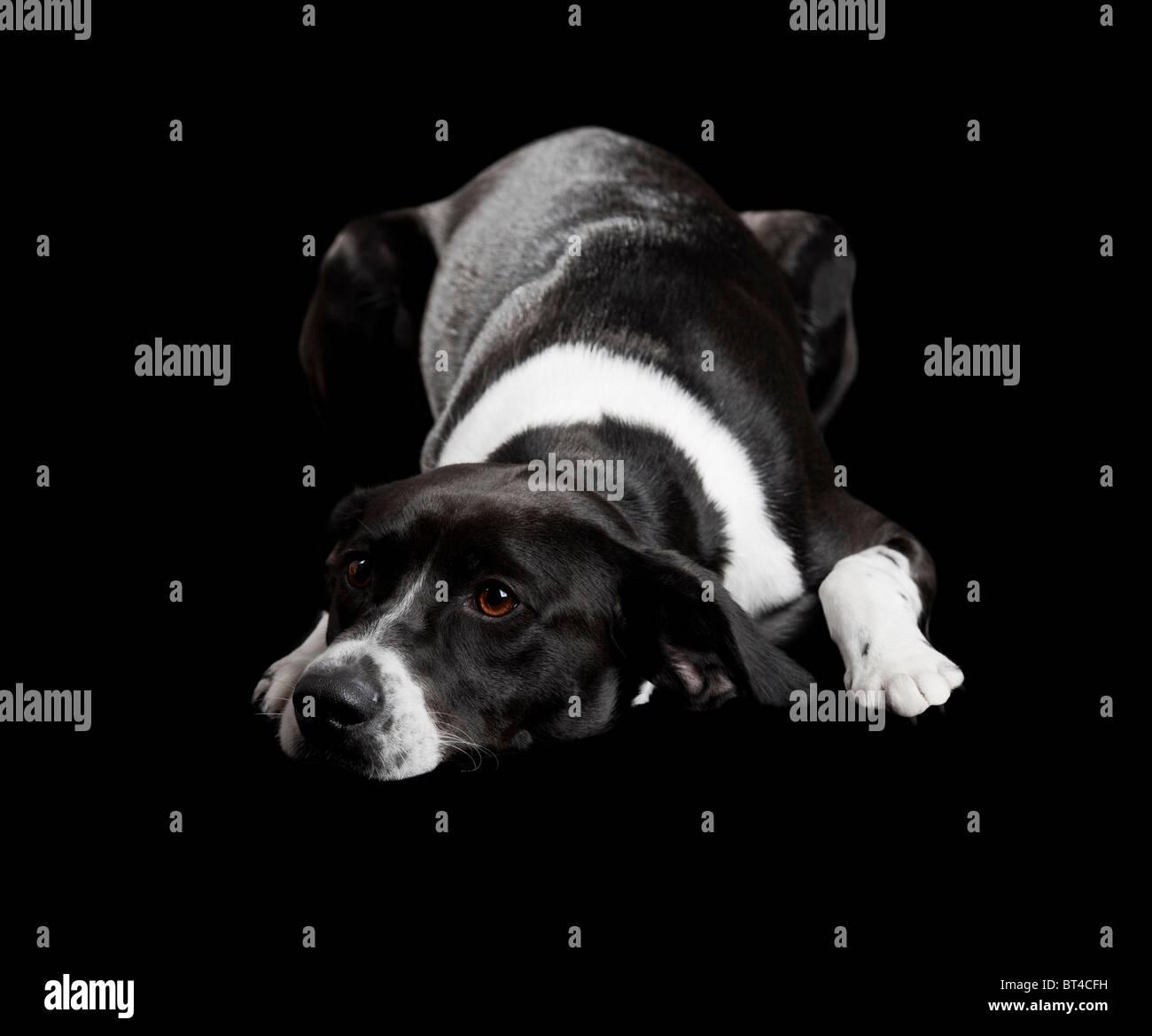 Beau chien couché sur le sol avec un regard triste, isolé sur fond noir Photo Stock