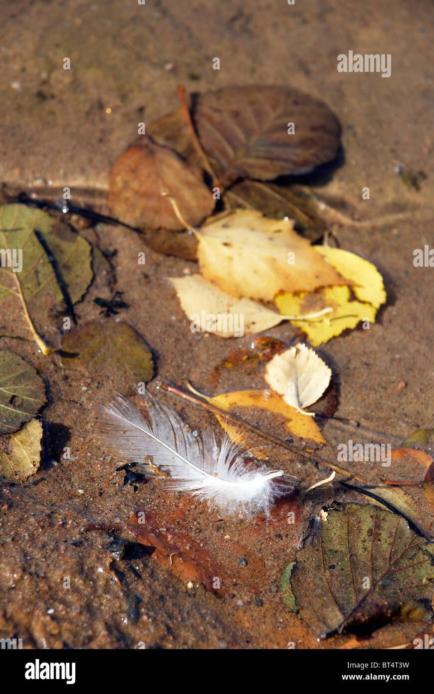 Plume d'oiseau et abscissed quitte Photo Stock