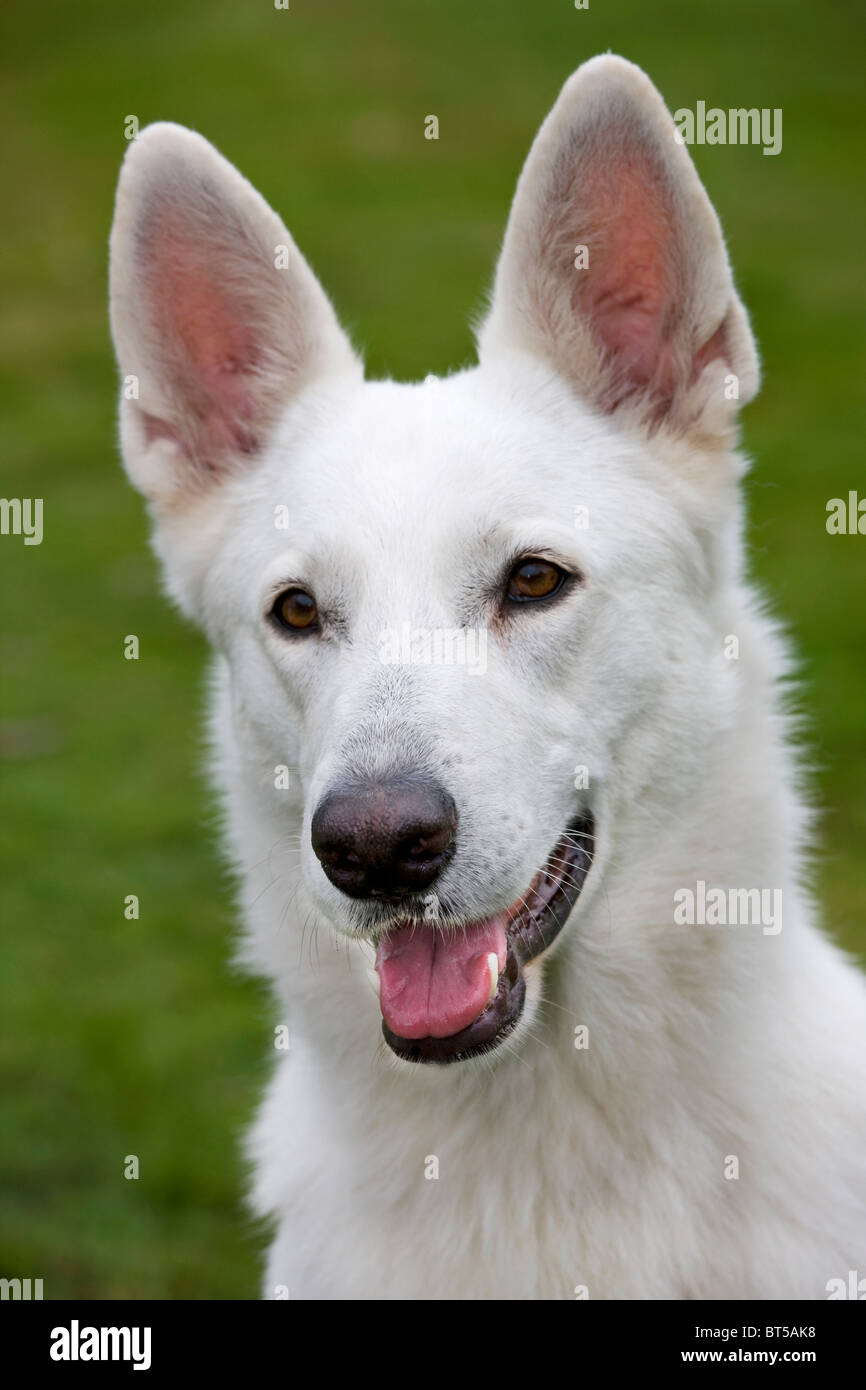 Berger Blanc Suisse Chien (Canis lupus familiaris) in garden Photo Stock