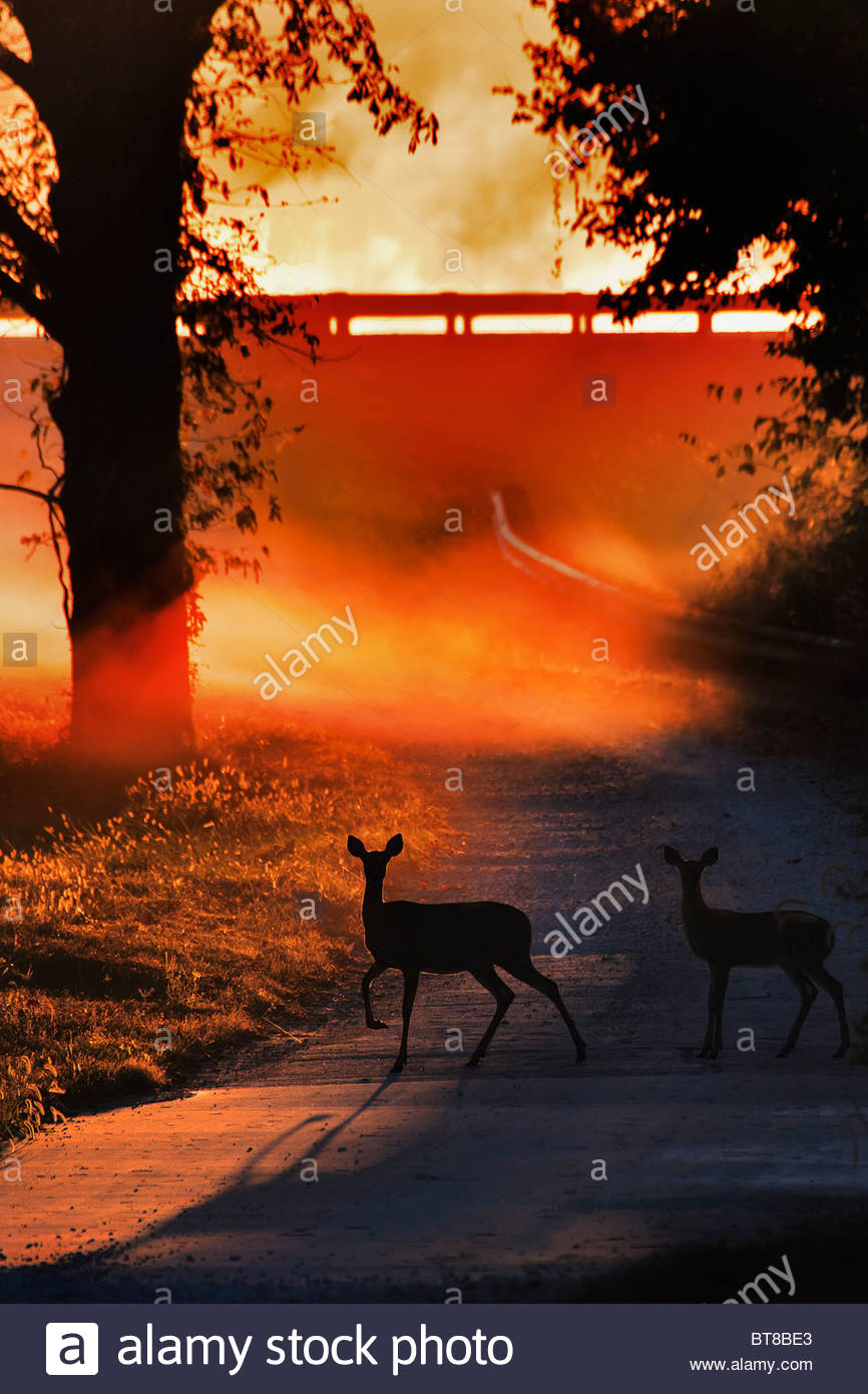 Biche et faon Cerf de virginie traversant une route de campagne au lever du soleil dans le brouillard backlet Photo Stock