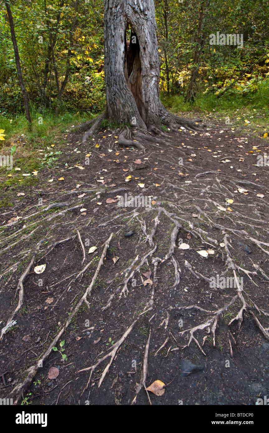 Un énorme réseau de racines distribués à partir d'un arbre à côté de la piste Photo Stock