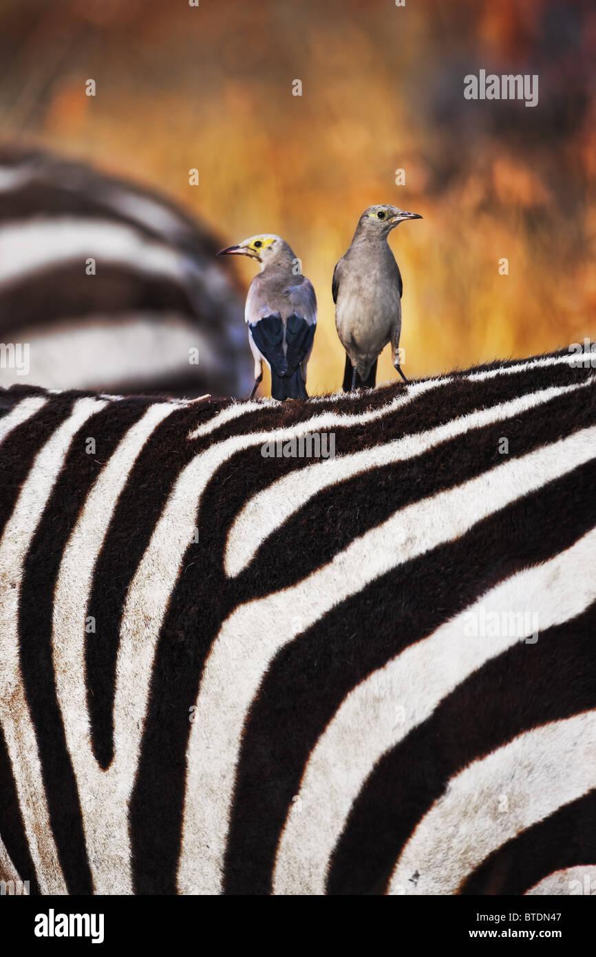 Réorganisation de Starling sur zebra's back.sera fréquemment percher sur les animaux et se nourrissent Photo Stock