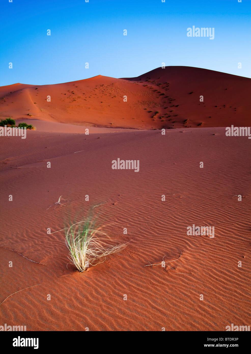 Brins d'herbe qui souffle dans la brise dans le désert du Sahara Photo Stock