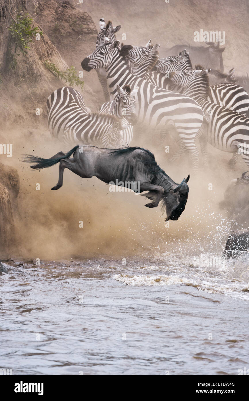 Des gnous et zèbres traversant la rivière Mara.Masai Mara National Reserve. Kenya Photo Stock