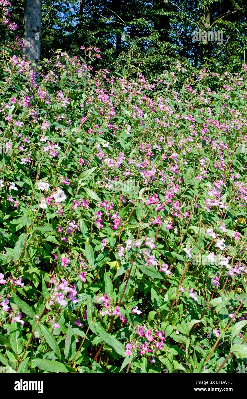 Balsamine de l'Himalaya est une plante nuisible dans de nombreuses parties de l'Allemagne Banque D'Images
