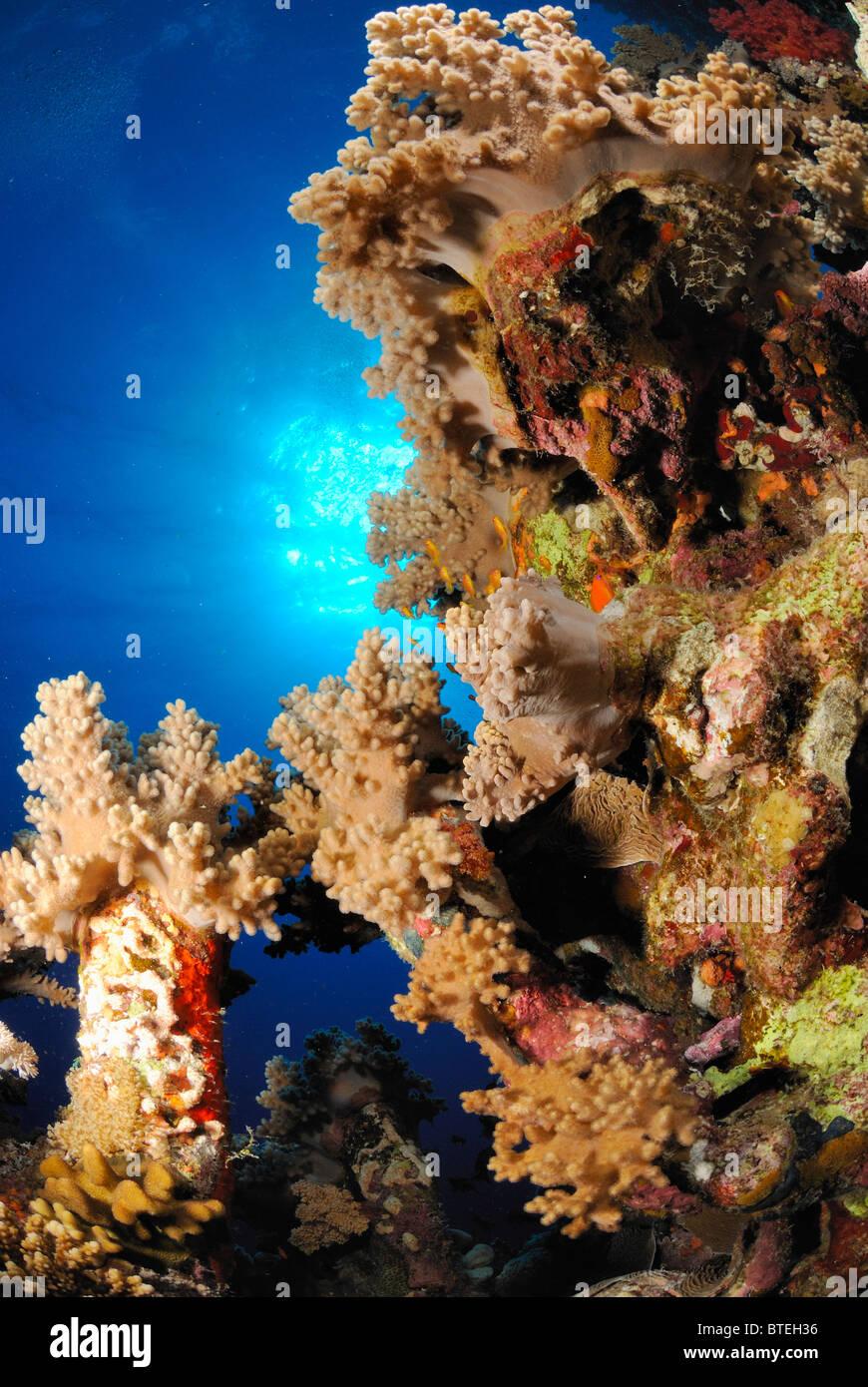 Croissance luxuriante des récifs au large de la côte, l'Égypte, Hamata Mer Rouge. Photo Stock