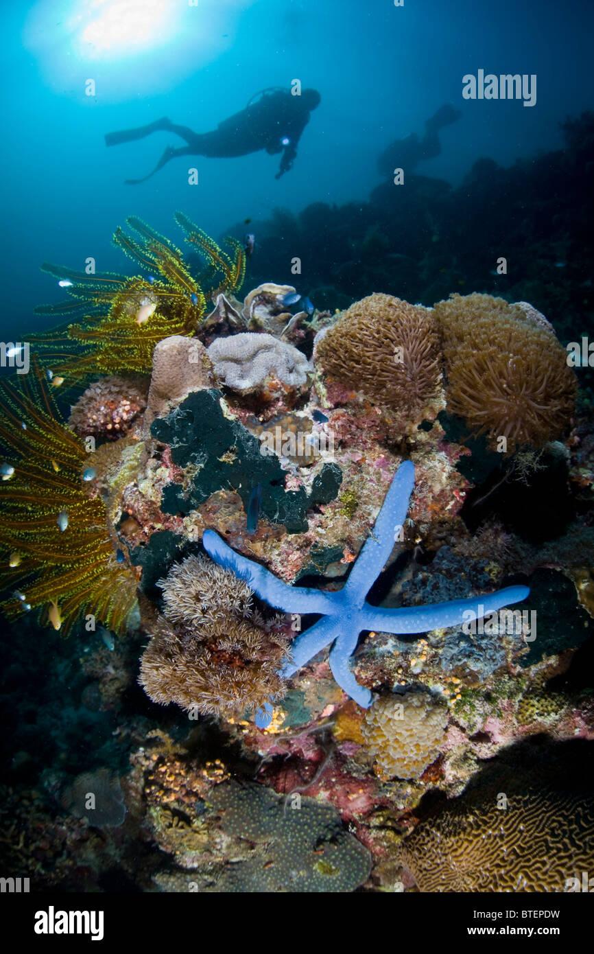 Un plongeur de la souris passe sur une diversité de coraux, ornée d'une étoile de mer bleue, Photo Stock