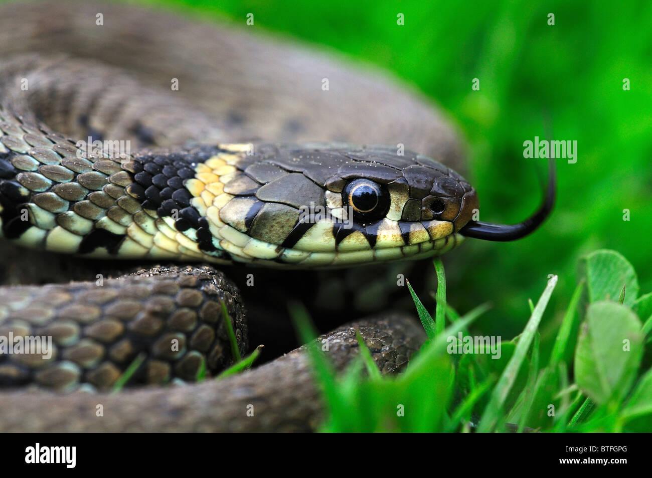 Un adulte couleuvre effleurant sa langue, dans l'herbe. Dorset UK Avril 2009 Photo Stock