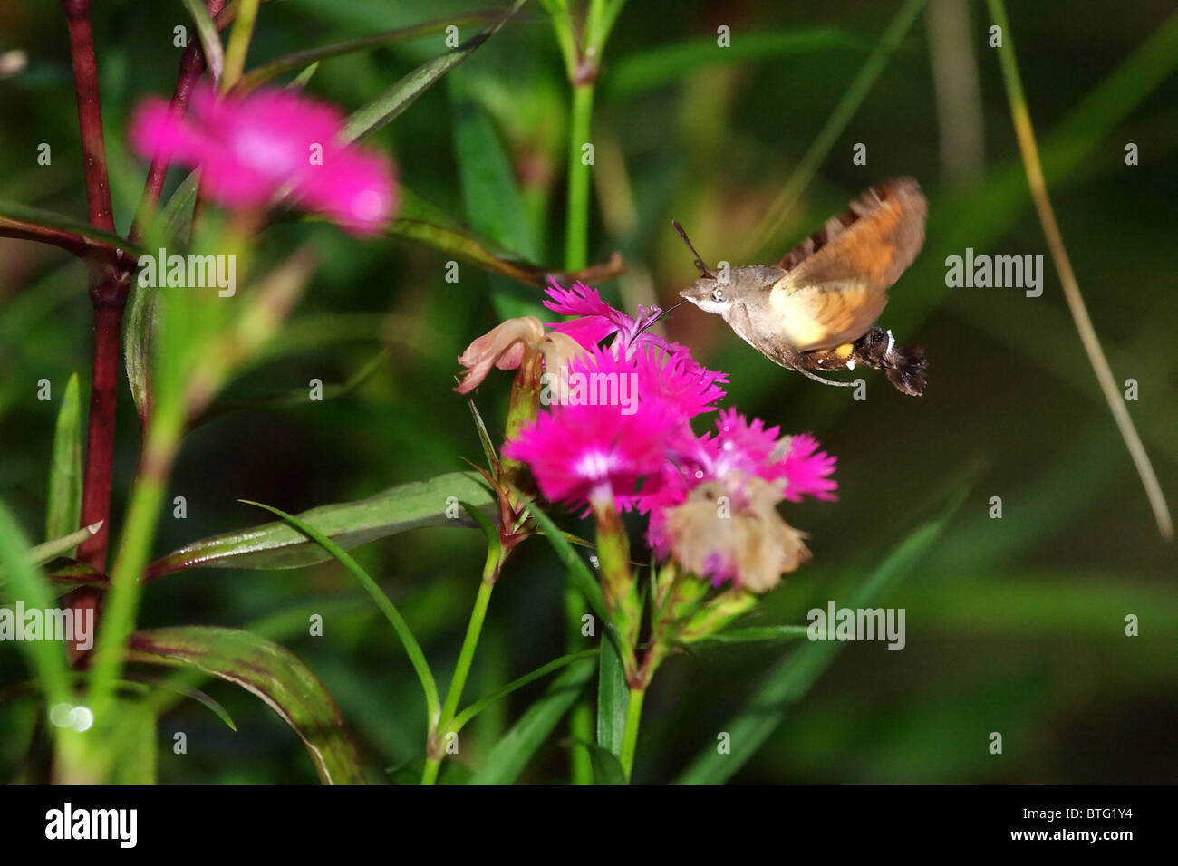 Humming Bird Hawk Moth à Emei Shan, Chine Photo Stock