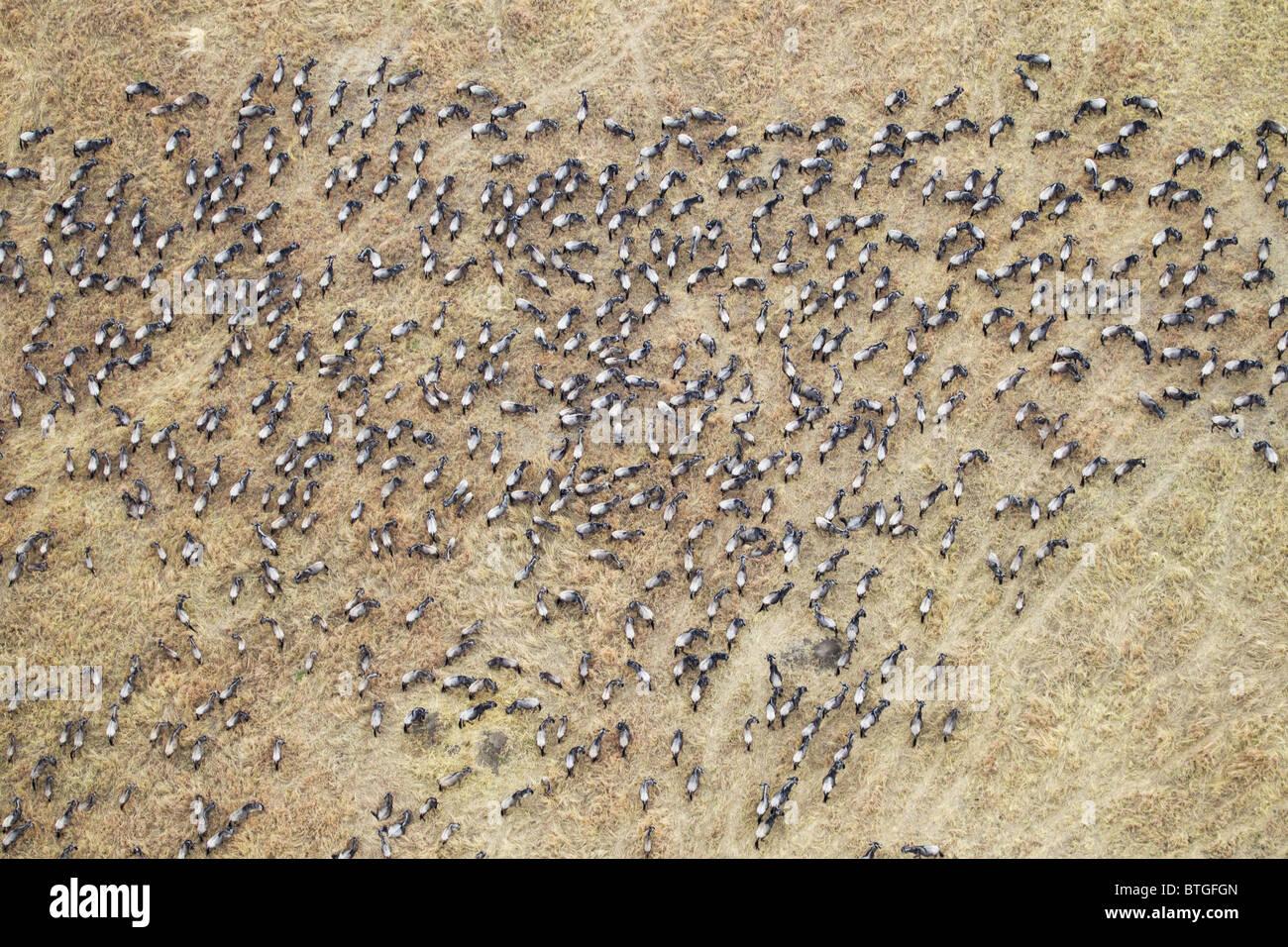 Vue aérienne de la migration des gnous. Jusqu'à 1,5 millions de gnous se déplacent dans le Mara/Serengeti Photo Stock