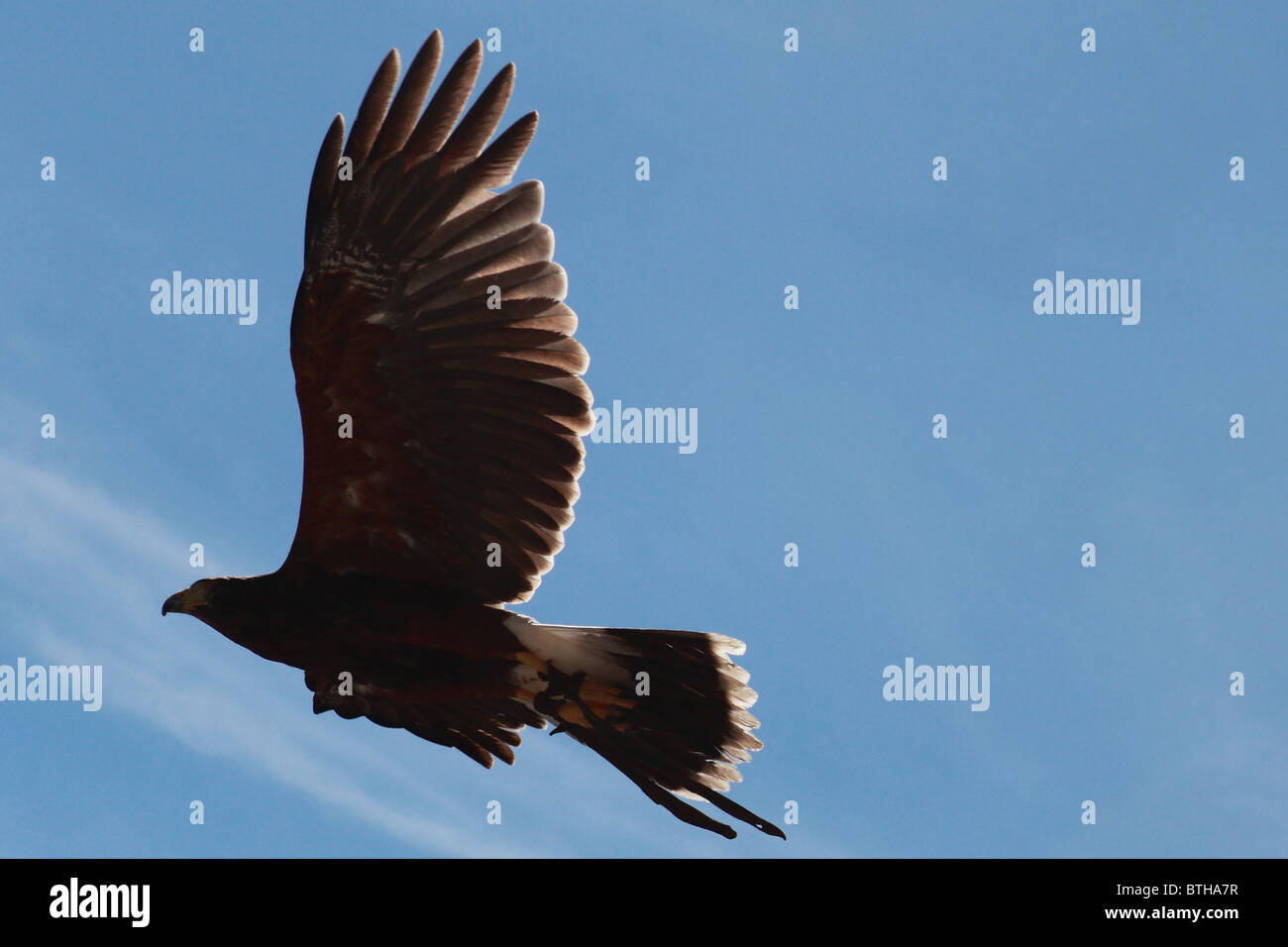 Hawk en vol Photo Stock