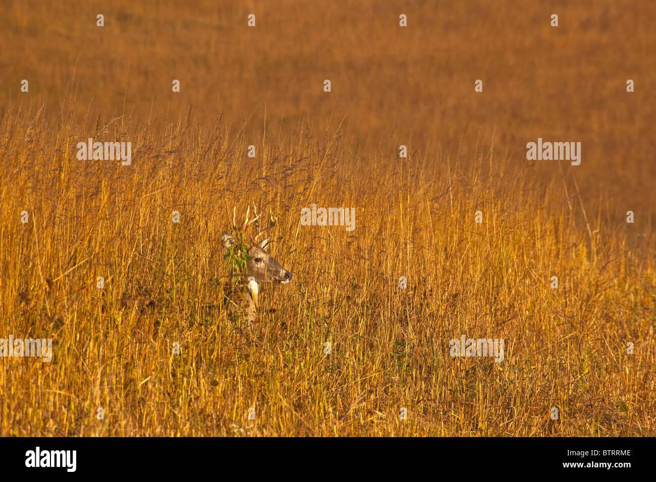 Buck, cerf, debout au milieu de la prairie à herbes hautes à Neal Smith National Wildlife Refuge, Prairie Photo Stock