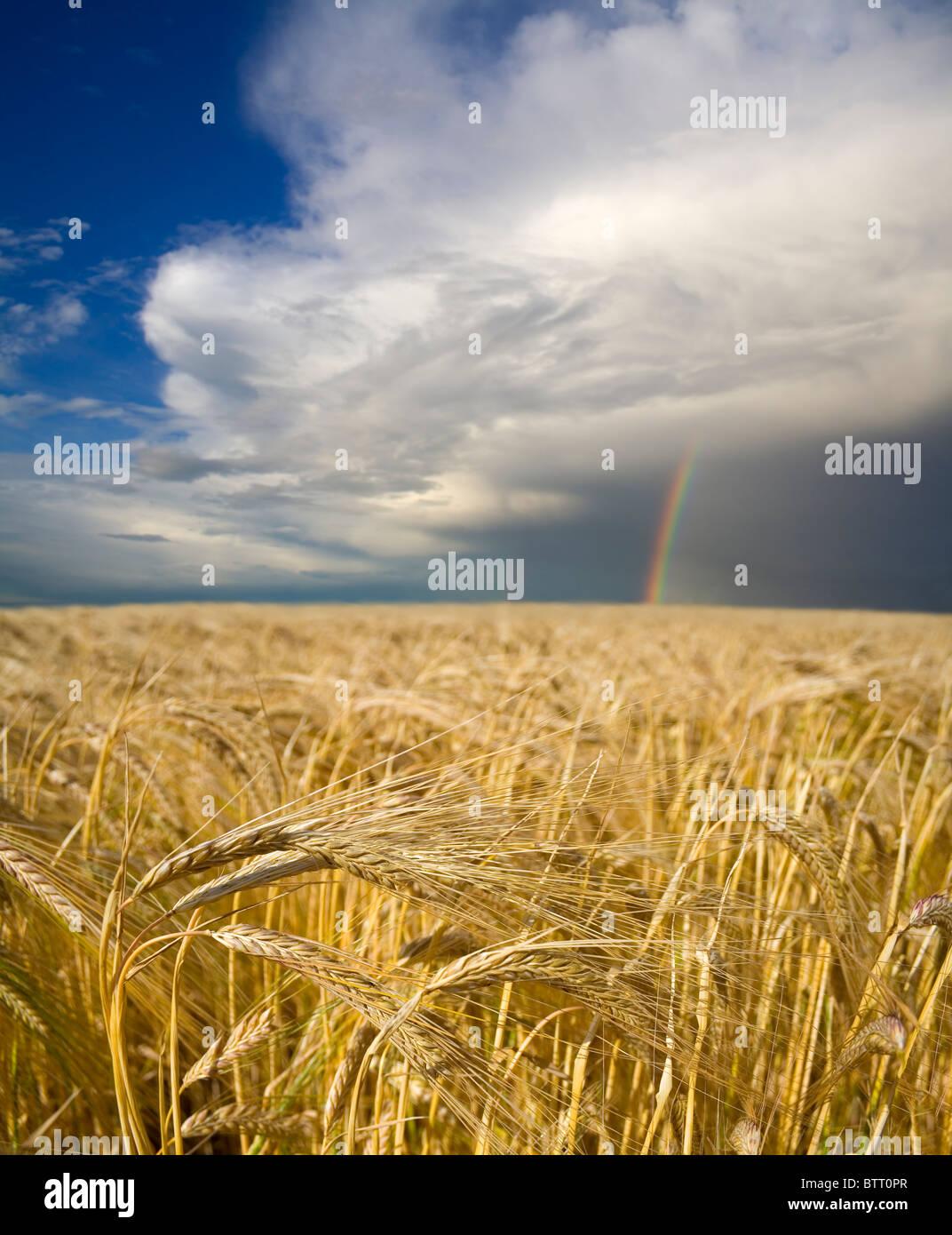 Un champ d'orge de maturation est assis sous un arc-en-ciel, offrant de l'espoir pour l'avenir de l'agriculture. Photo Stock