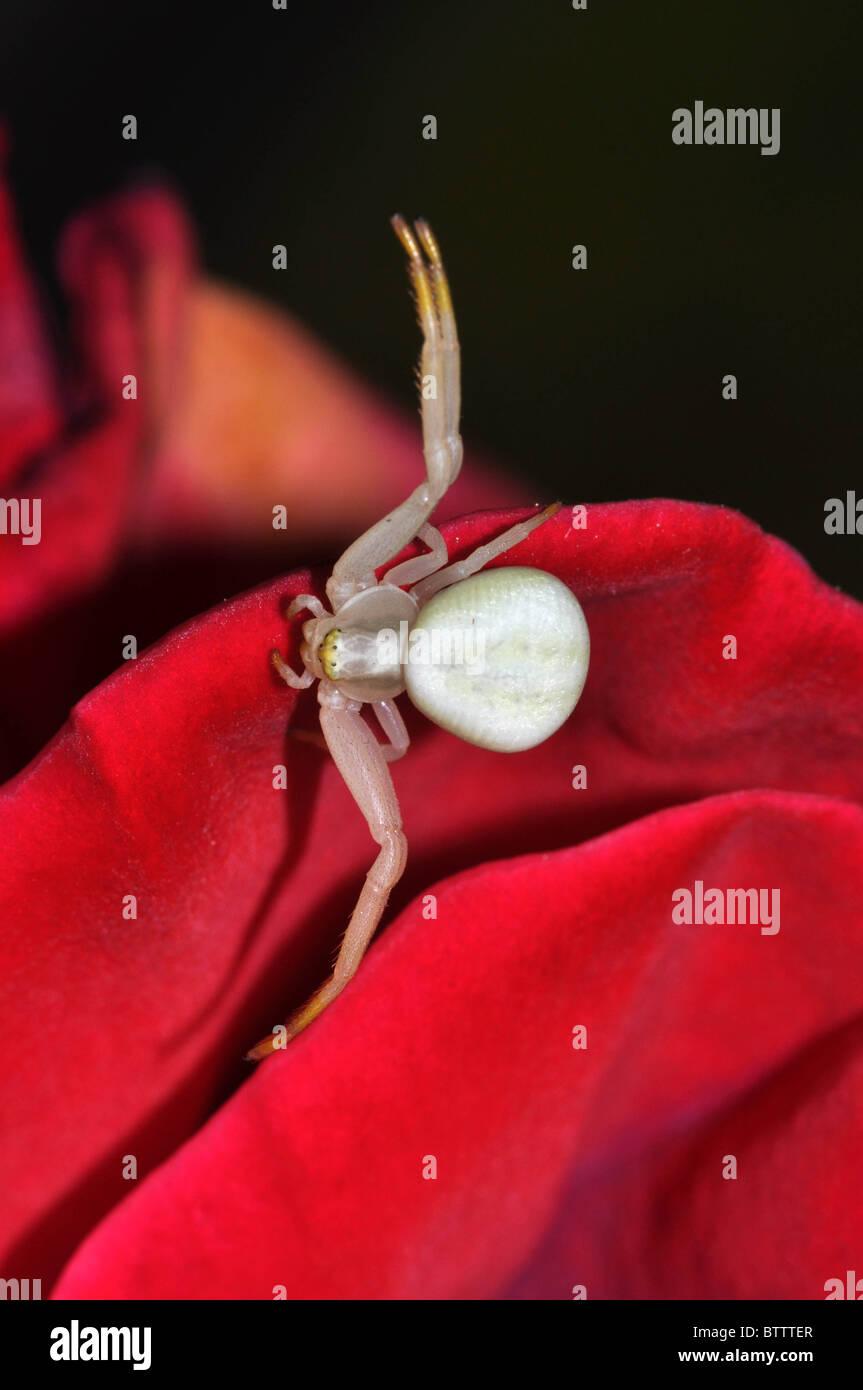Sur Spider la rose Banque D'Images