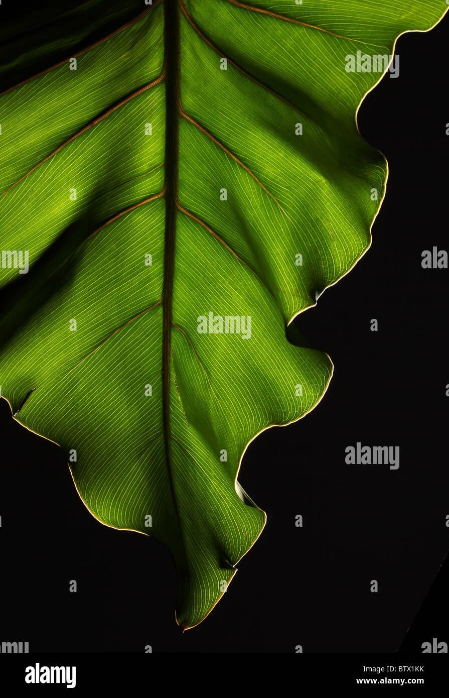 Des feuilles des plantes vertes avec une structure forte sur un fond noir Photo Stock
