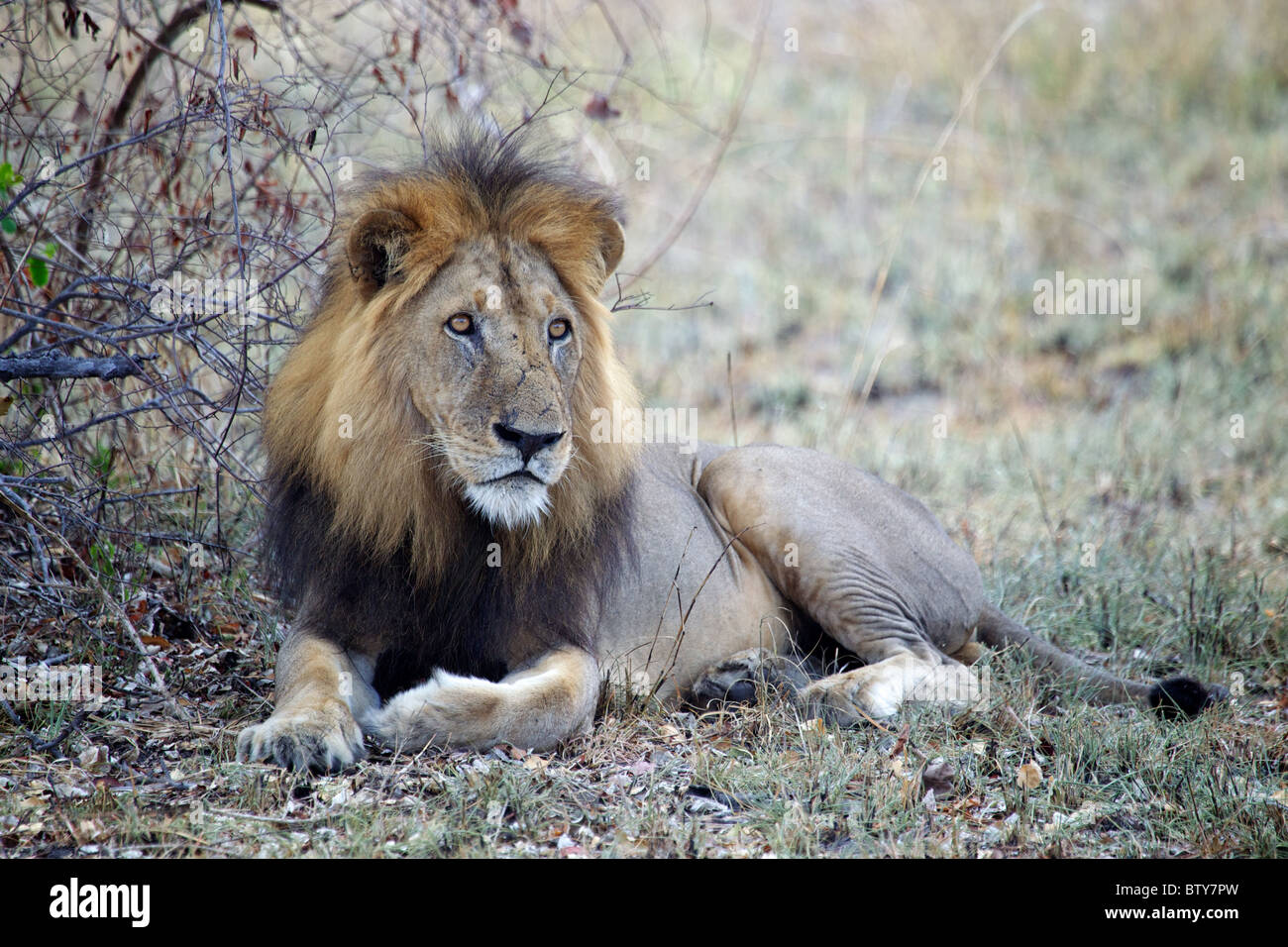 AFRICAN LION mâle ( Panthera leo ) Saadani National Park Tanzanie Photo Stock