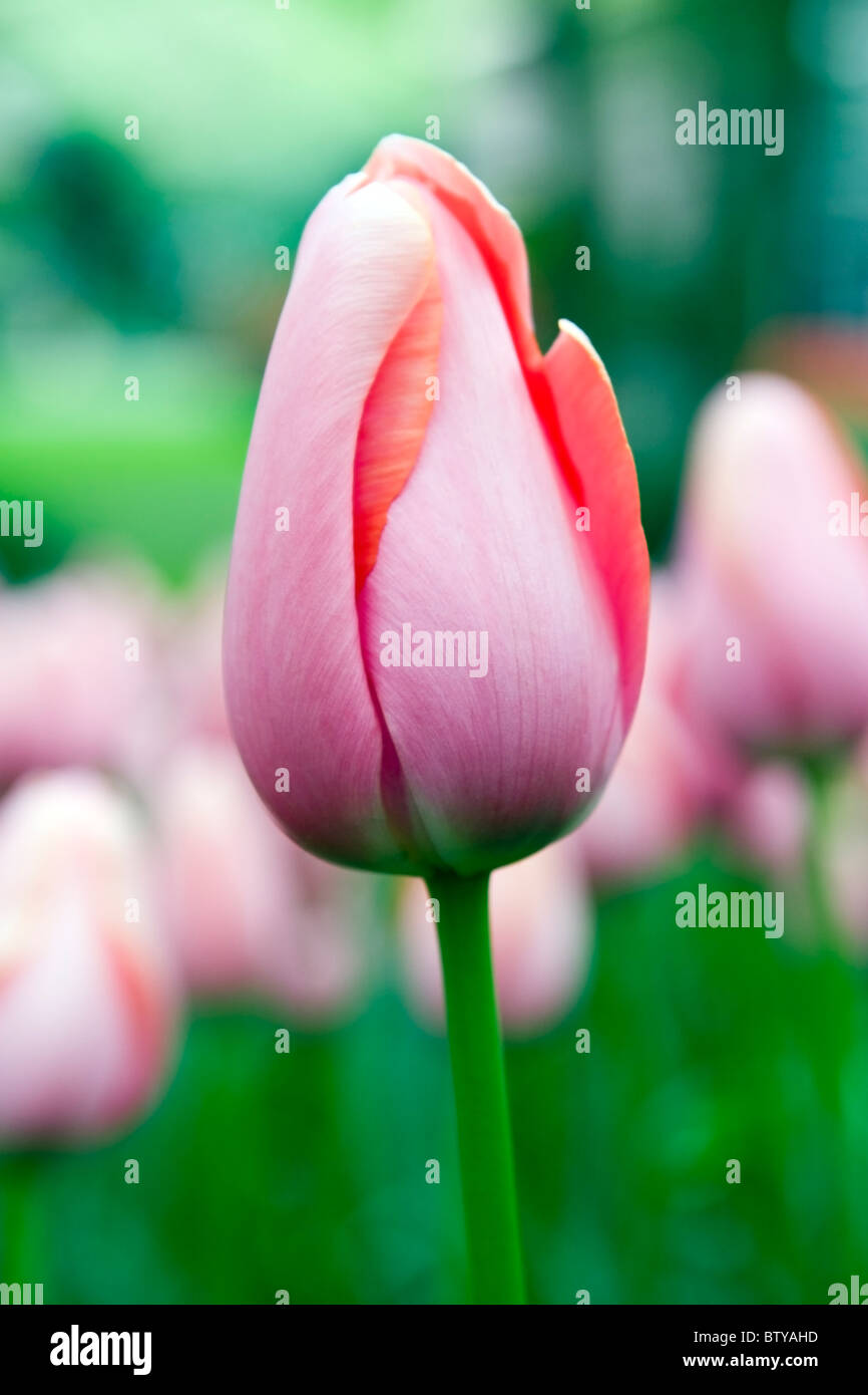 pink tulip menton photos pink tulip menton images alamy. Black Bedroom Furniture Sets. Home Design Ideas