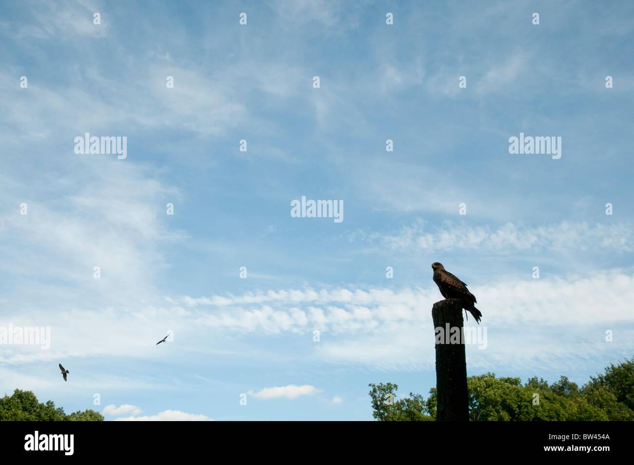 Rapaces, faucon pèlerin, raptor Photo Stock