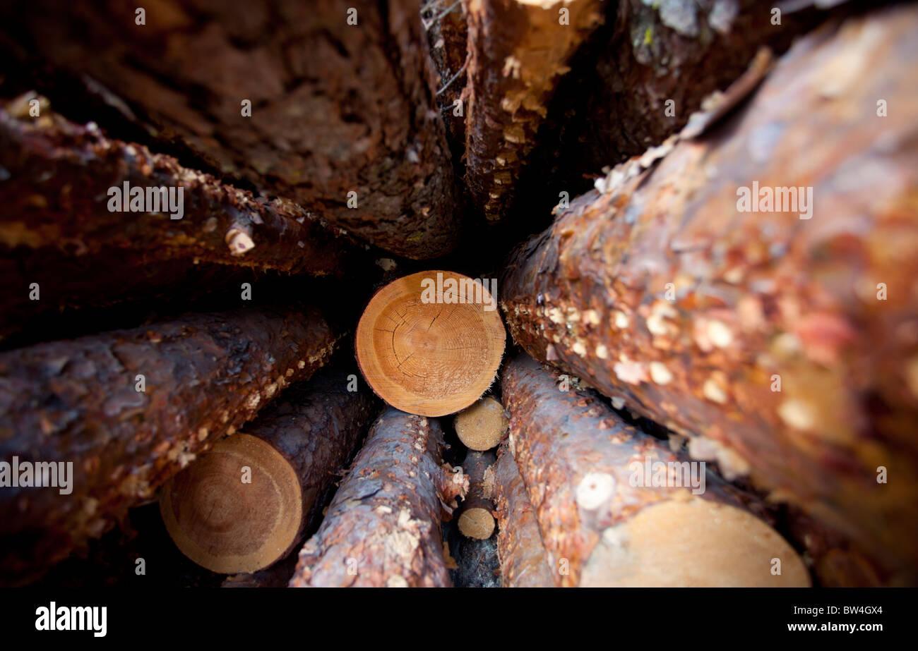 Pin (Pinus sylvestris) s'identifier profondément à l'intérieur d'une pile de journaux Photo Stock