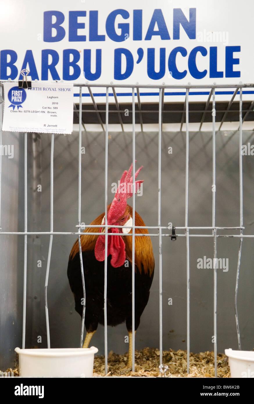 Coq primé au Royal Show de Perth, Perth, Australie occidentale Photo Stock