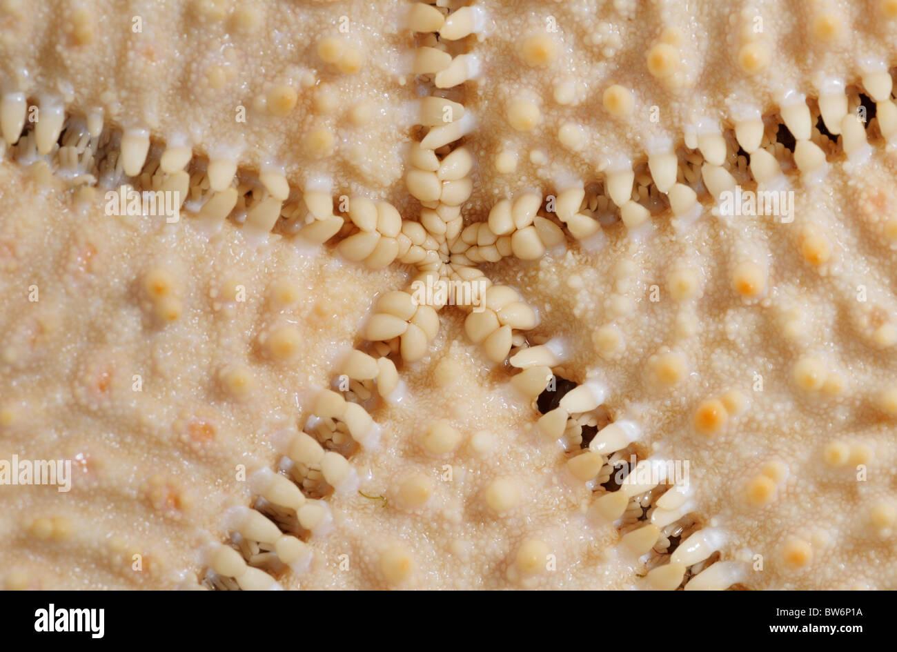 Face inférieure (voie orale) de la surface d'une étoile de mer (coussin rouge star, Oreaster reticulatis) Photo Stock