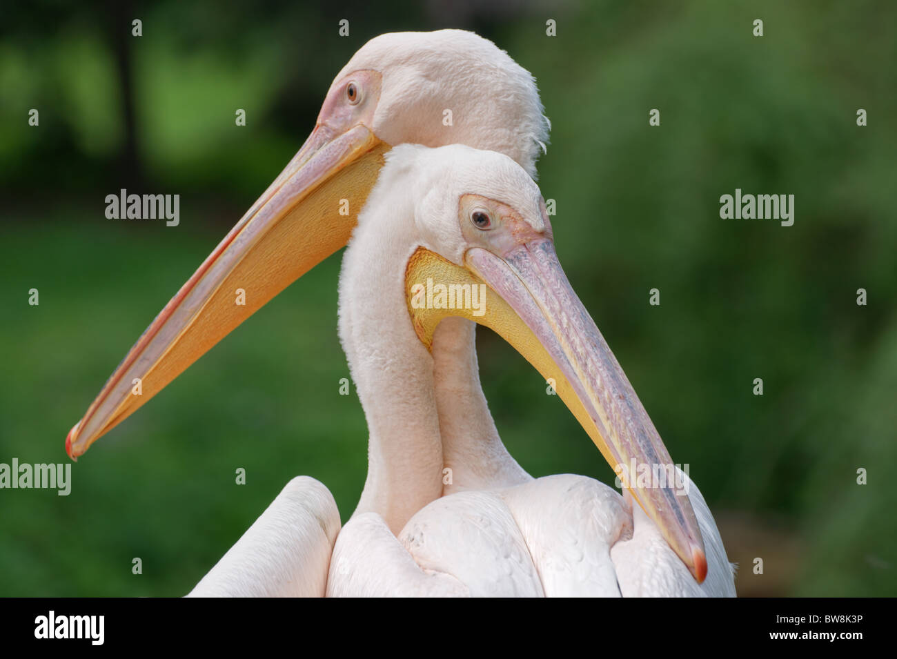 Grand pélican blanc (Pelecanus onocrotalus) paire libre Photo Stock