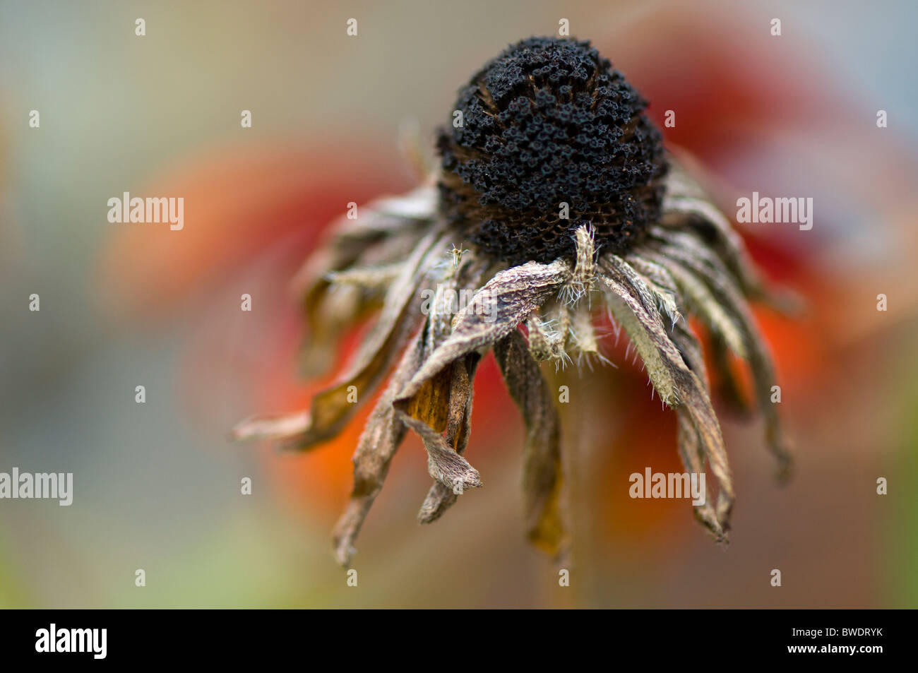 Rudbeckia hirta morts capitule. Photo Stock