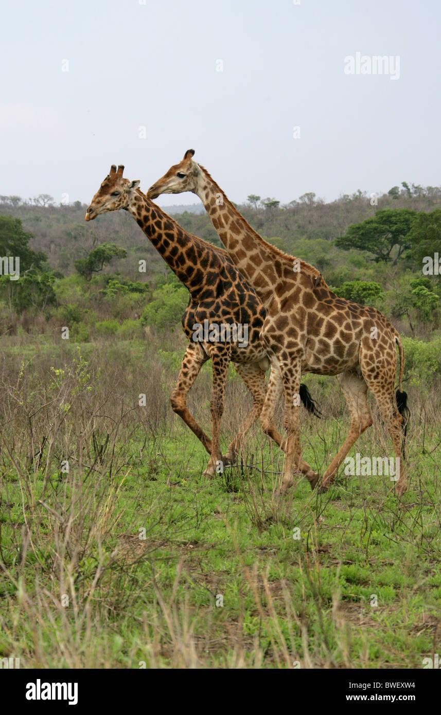 L'Afrique du Sud, Giraffe Giraffa camelopardalis giraffa, Giraffidae. La Réserve Hluhluwe-Umfolozi, Kwazulu Photo Stock