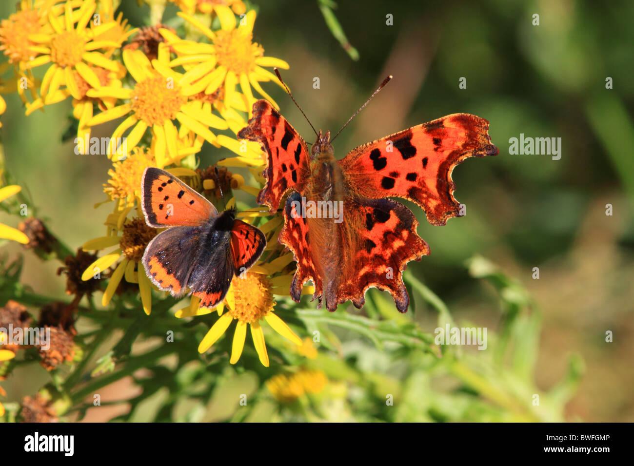 Petits Papillons UK Cuivre ( Lycaena phlaeas ) et virgule (Polygonia c-album ) sur le séneçon de fleurs Photo Stock