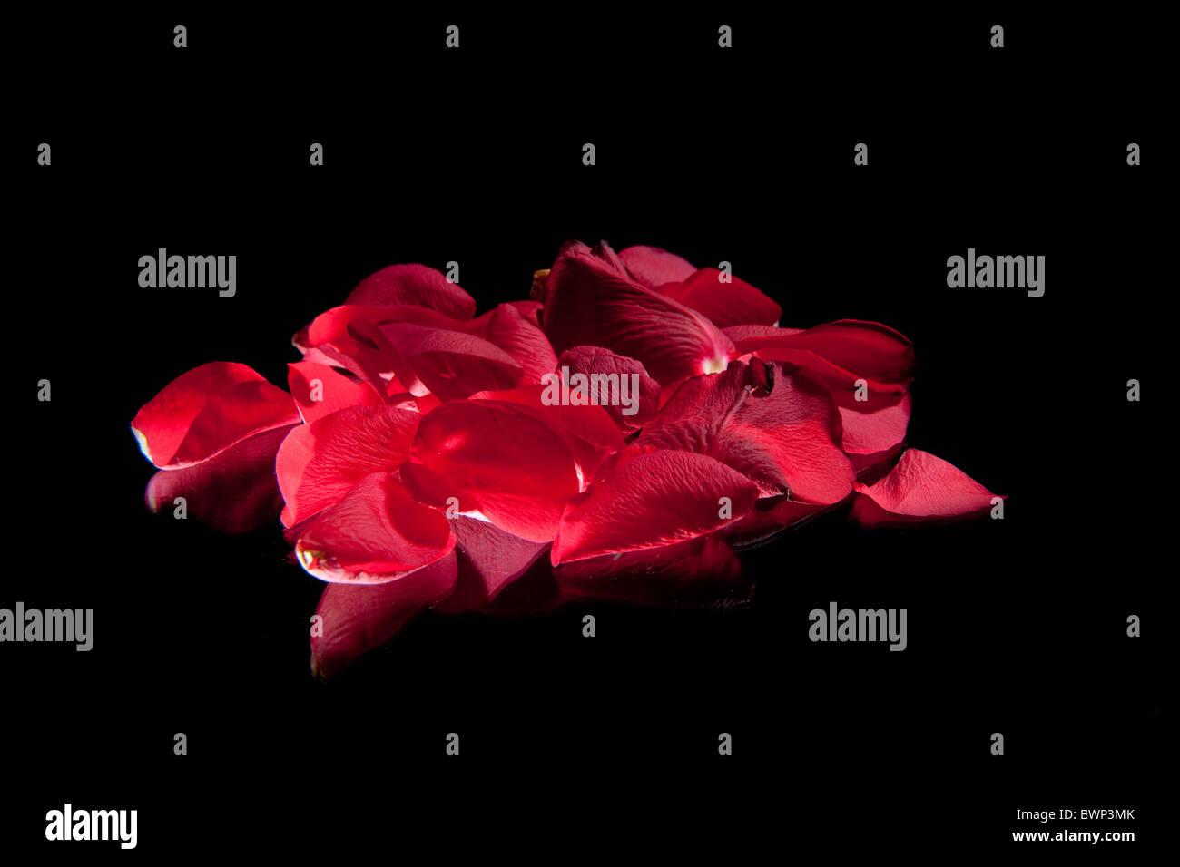 pétale de rose Photo Stock