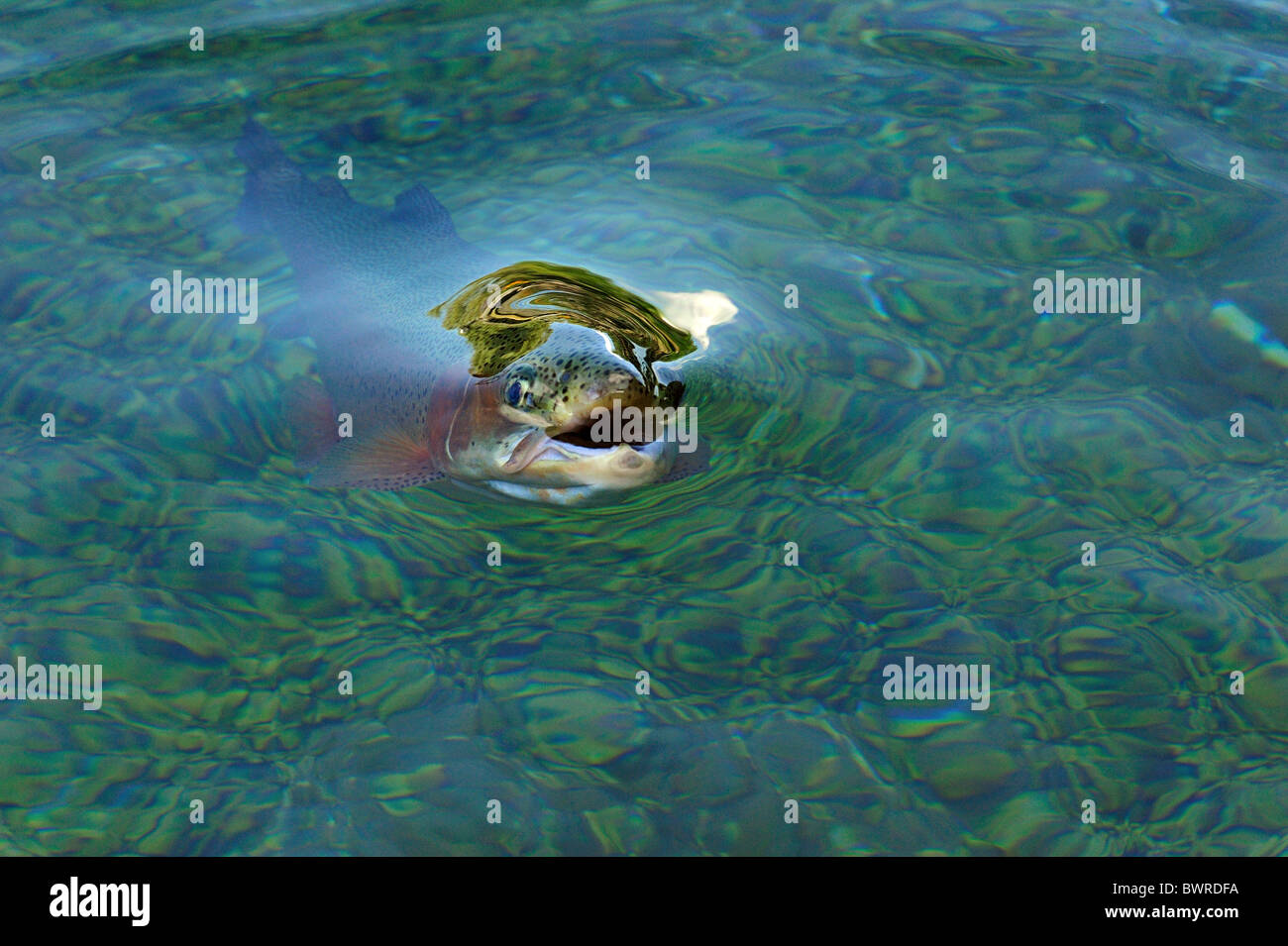 La truite arc-en-ciel, Oncorhynchus mykiss, captive Photo Stock