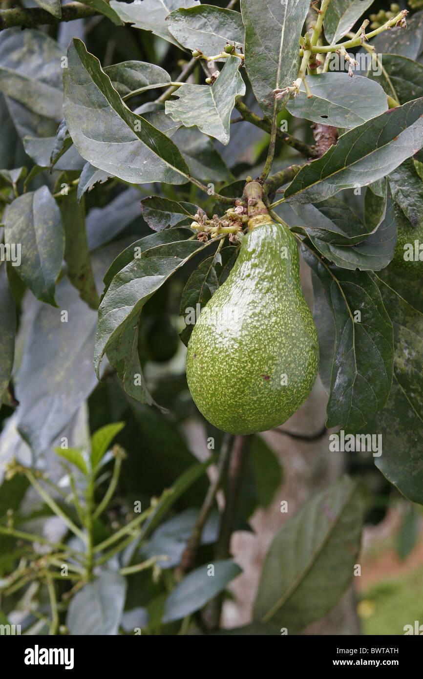 avocat (persea americana) fruits de l'arbre du sri lanka banque d