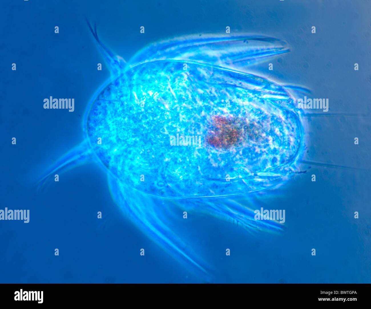 Les crustacés copépodes planctoniques marins Banque D'Images