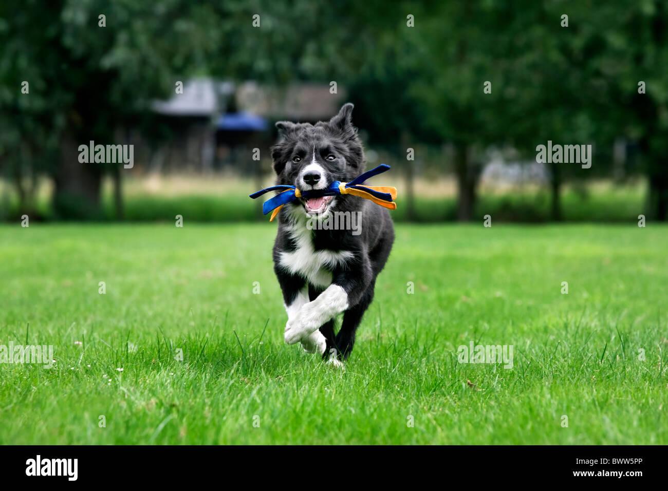 Border Collie (Canis lupus familiaris) extraction de jouet dans jardin Photo Stock
