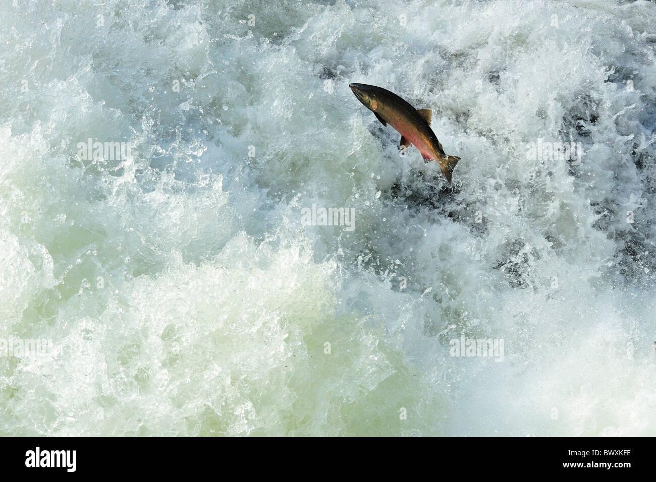Ou argent coho, Oncorhynchus kisutch, Sol Duc River, Olympic National Park, Washington Photo Stock