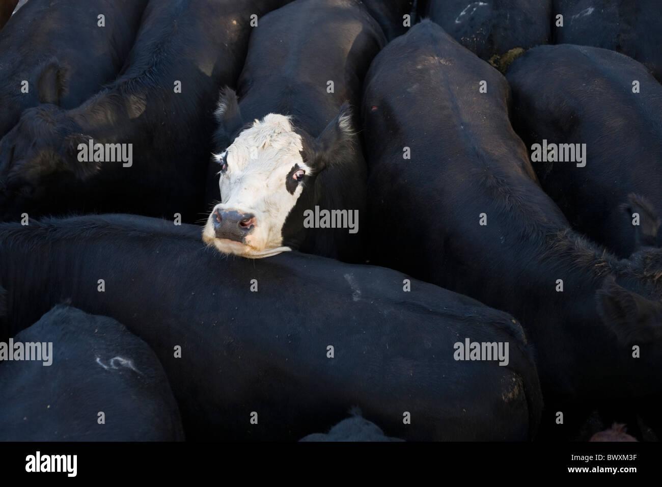 Vache blanche visage parmi les organes de la vache noire Photo Stock