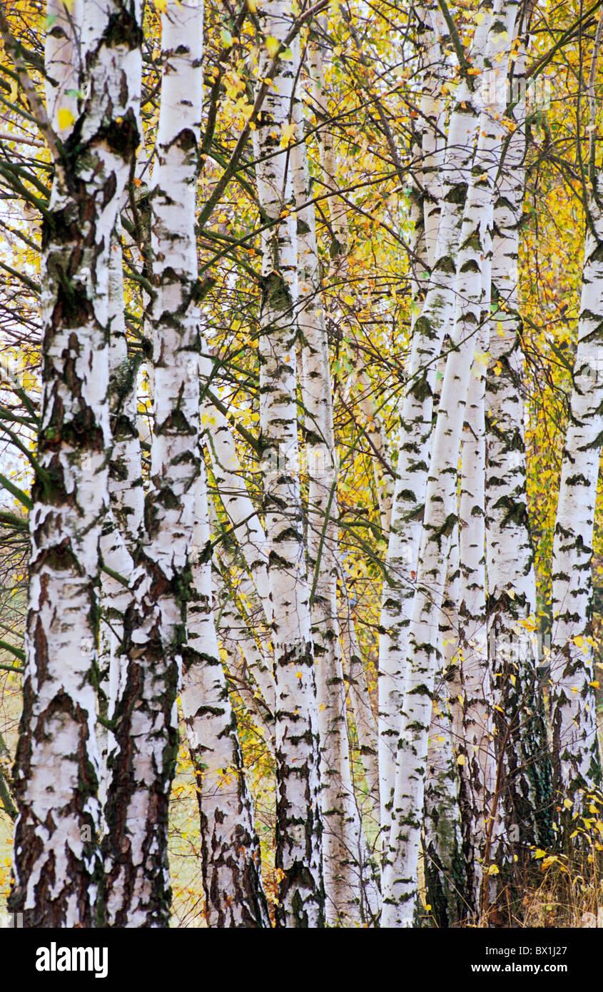Forêt de bouleaux Bohême Arrangement Arrière-plans Bouleau Bouleau Bouleau arbre Couleur Couleur Photo Stock
