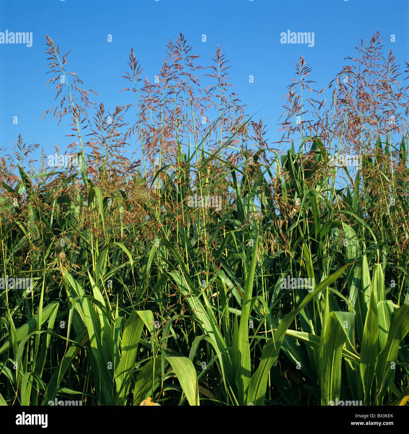 Johnson grass (Sorghum halepense) floraison dans une récolte de maïs à maturité, Italie Photo Stock